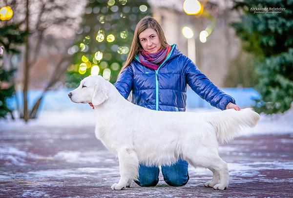 золотистый ретривер Рок Стар из Столицы Урала