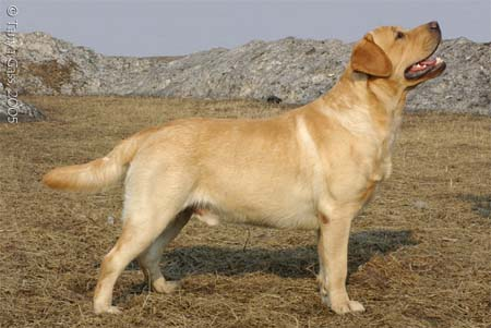 HISTORY OF RETRIEVERS IN RUSSIA - The Russian Retriever Club.