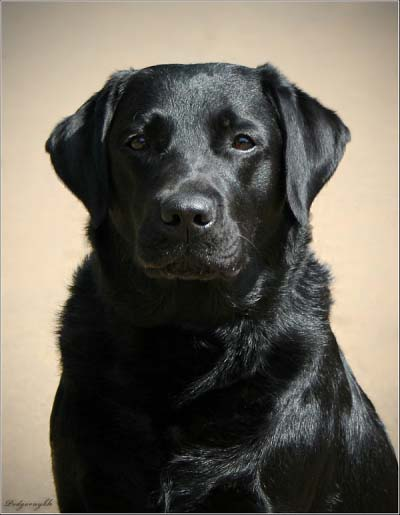 https://labrador.ru/images/personalities2011/back_in_black1.jpg