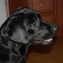 Labrador09