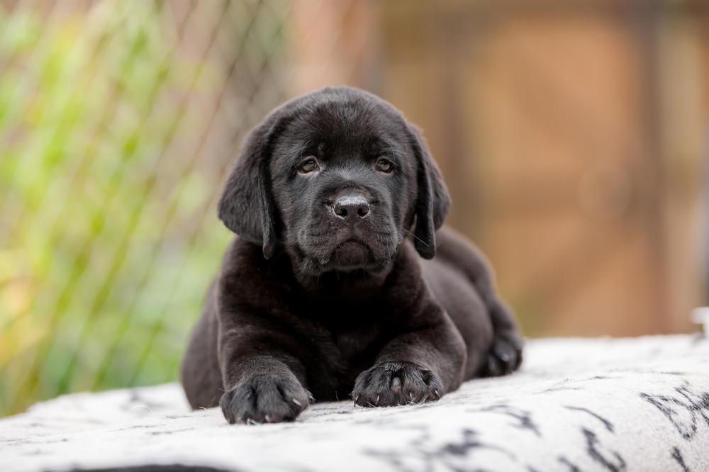 Фотографии собак лабрадора черного