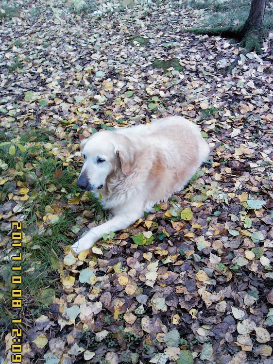 на ковре из жёлтых листьев.jpg