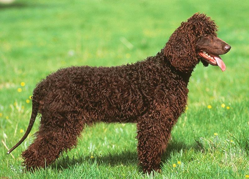 irish-water-spaniel002.jpg